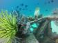 frogfish in Sipadan
